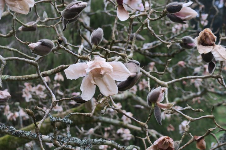 Magnolie in Glendurgan, Cornwall