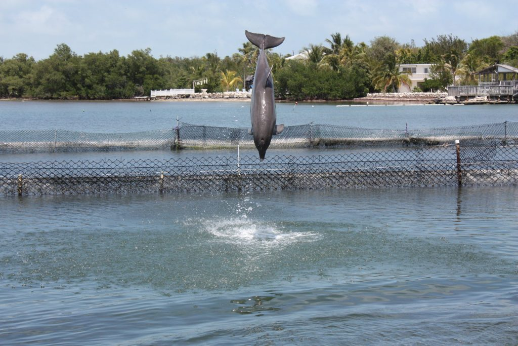 Delfin im Dolphin Research Center auf Grassy Key, Florida