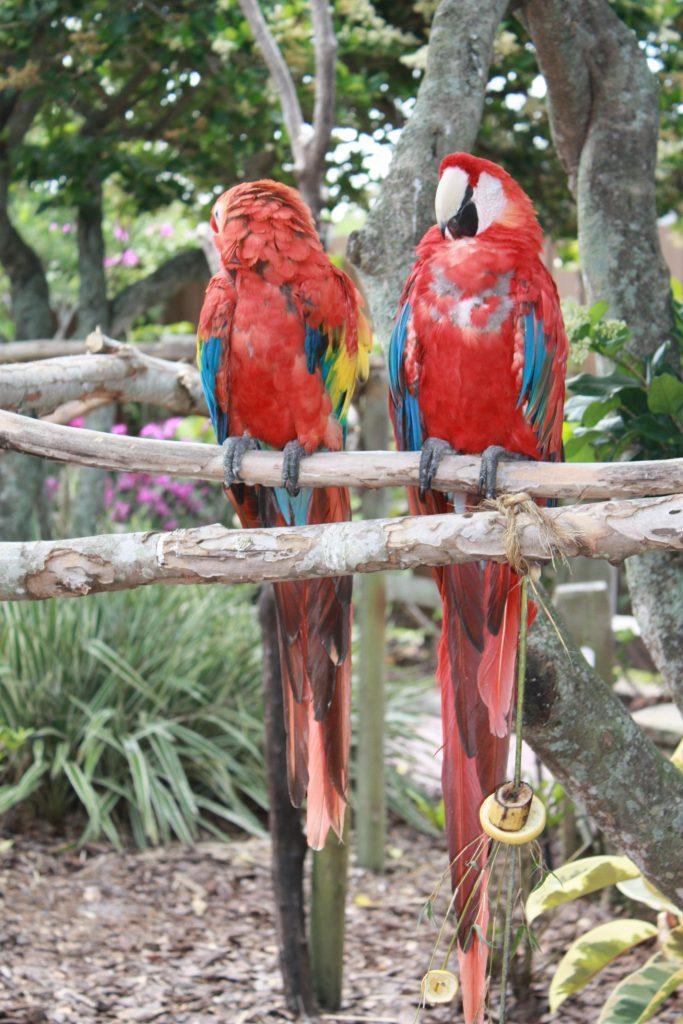 Ara Papageien in Orlando, Florida