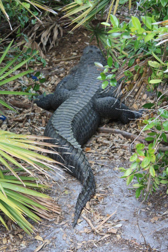 Beim Spaziergang entdeckt man allerlei Alligatoren in Gatorland, Orlando, Florida