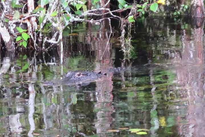 Alligator, Loop Road Everglades, Florida mit Kindern
