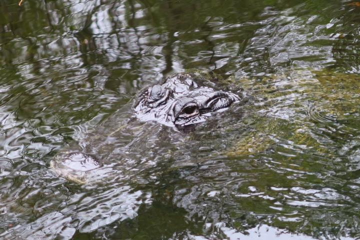 Alligator in den Everglades, Hurrikan in Florida