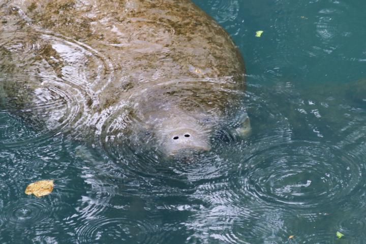 Manatee Nase, Homosassa Springs, Florida