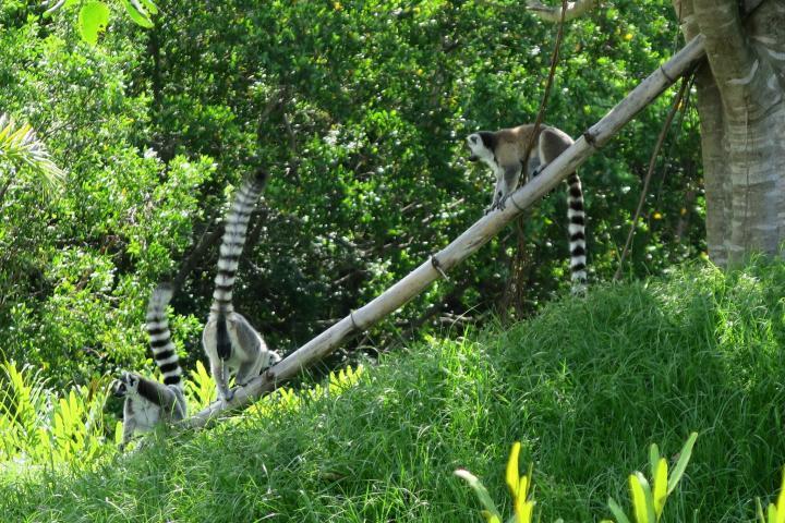 Lemuren im Naples Zoo, Florida, Paradise Coast