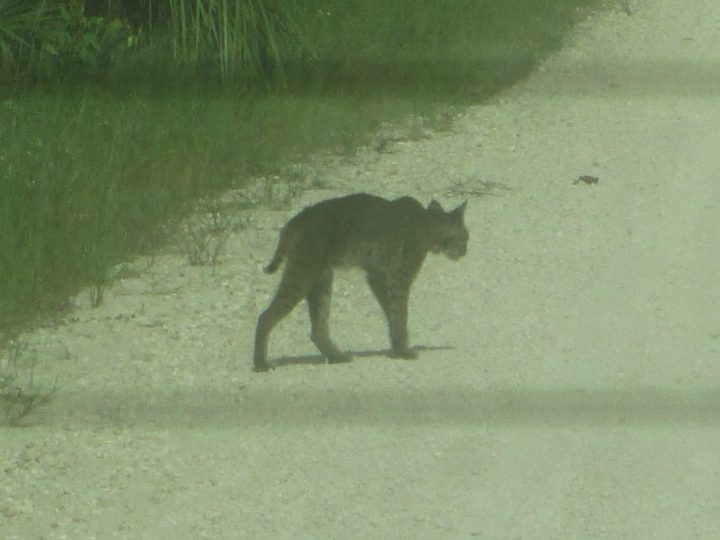 Bobcat, Rotluchs in den Everglades, Big Cypress, Florida