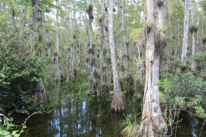 Landschaft im Big Cypress National Preserve