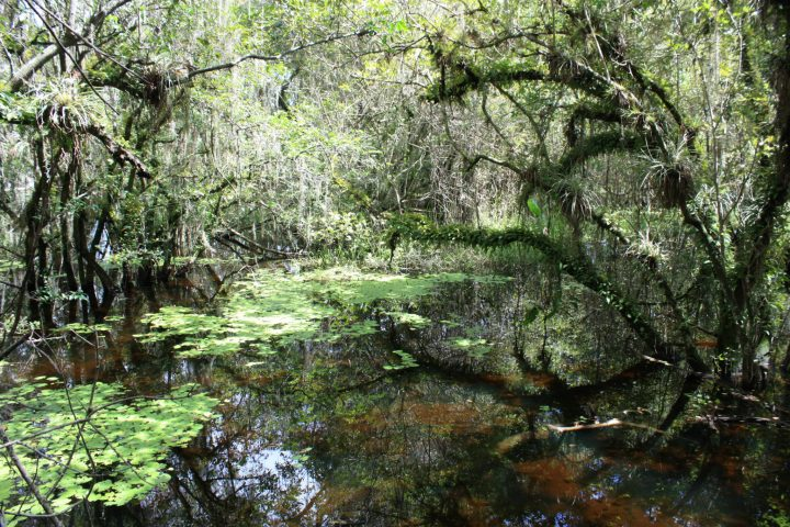 Sumpflandschaft in den Everglades, Big Cypress, Florida