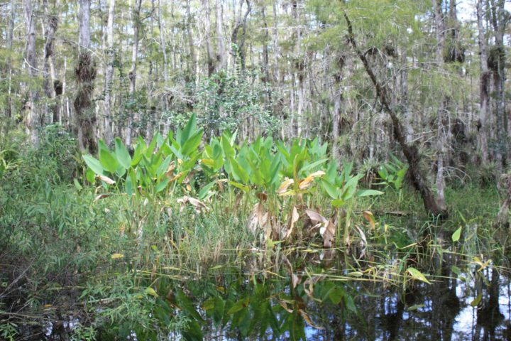 Tropische Vegetation in den Everglades, Loop Road, Florida