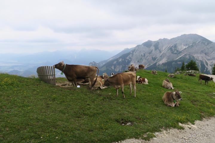 Kühe genießen die Aussicht auf dem Breitenberg in Pfronten